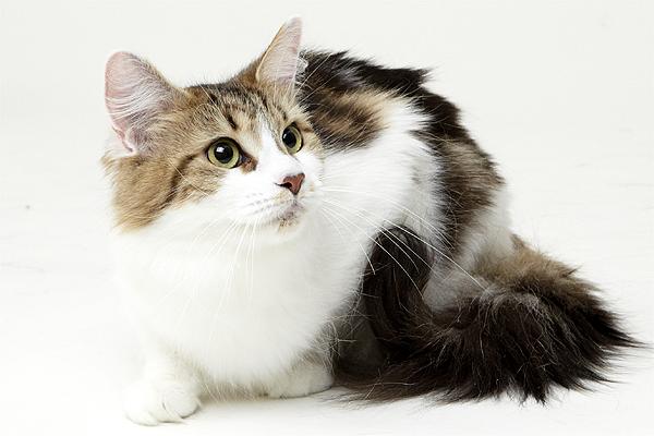 エムドッグス,動物プロダクション,ペットモデル,ペットタレント,モデル猫,タレント猫,メインクーン