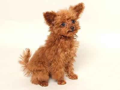 エムドッグス,動物プロダクション,ペットモデル,ペットタレント,モデル犬,タレント犬,トイプードル