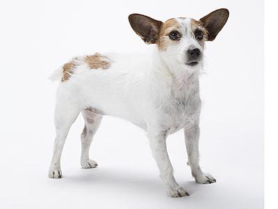 エムドッグス,動物プロダクション,ペットモデル,ペットタレント,モデル犬,タレント犬,ジャックラッセルテリア