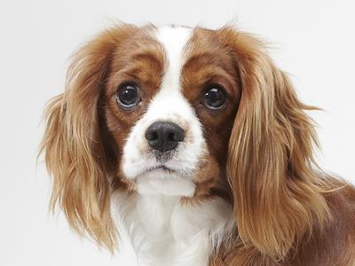 エムドッグス,動物プロダクション,ペットモデル,ペットタレント,モデル犬,タレント犬,キャバリアキングチャールズスパニエル