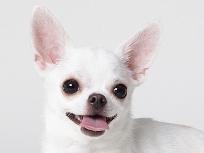 エムドッグス,動物プロダクション,ペットモデル,ペットタレント,モデル犬,タレント犬,チワワ
