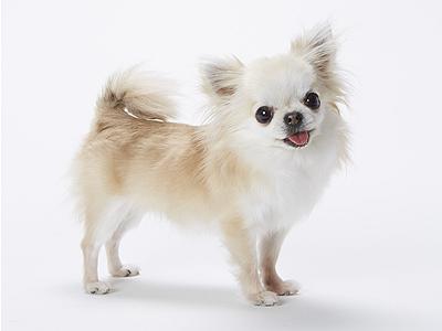 エムドッグス,動物プロダクション,ペットモデル,ペットタレント,モデル犬,タレント犬,チワワ,まお
