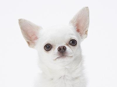 エムドッグス,動物プロダクション,ペットモデル,ペットタレント,モデル犬,タレント犬,チワワ,ぷぅ太