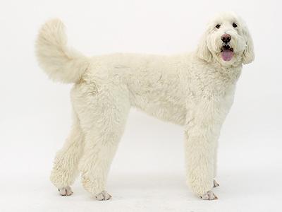 エムドッグス,動物プロダクション,ペットモデル,ペットタレント,モデル犬,タレント犬,ゴールデンドゥードル,ミント