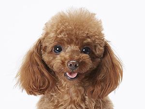 エムドッグス,動物プロダクション,ペットモデル,ペットタレント,モデル犬,タレント犬,トイプードル,香音(かおん)