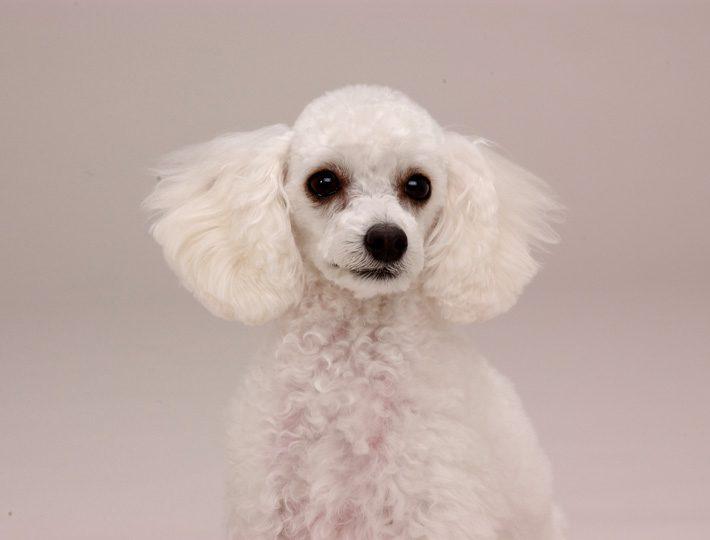 エムドッグス,動物プロダクション,ペットモデル,ペットタレント,モデル犬,タレント犬,トイプードル,コロン