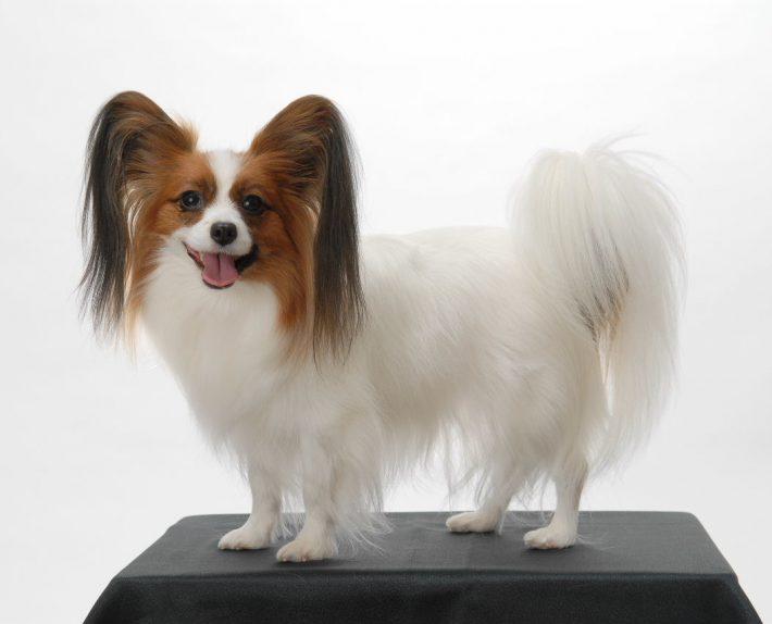 エムドッグス,動物プロダクション,ペットモデル,ペットタレント,モデル犬,タレント犬,パピヨン,ケイ