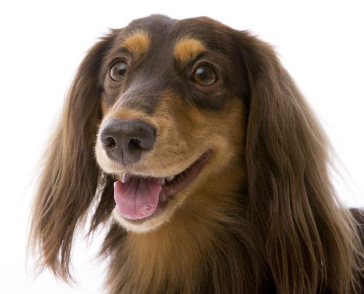 エムドッグス,動物プロダクション,ペットモデル,ペットタレント,モデル犬,タレント犬,ミニチュアダックスフンド,ロジャー