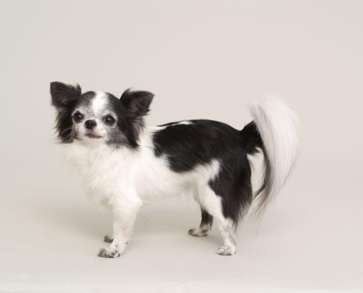 エムドッグス,動物プロダクション,ペットモデル,ペットタレント,モデル犬,タレント犬,チワワ,リオン