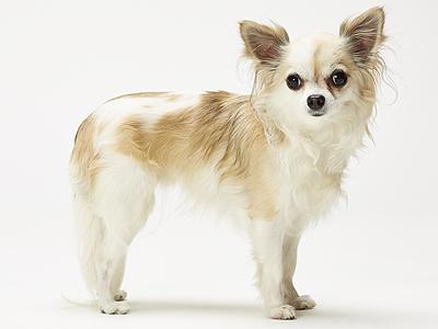 エムドッグス,動物プロダクション,ペットモデル,ペットタレント,モデル犬,タレント犬,チワワ,Estella(エステラ)