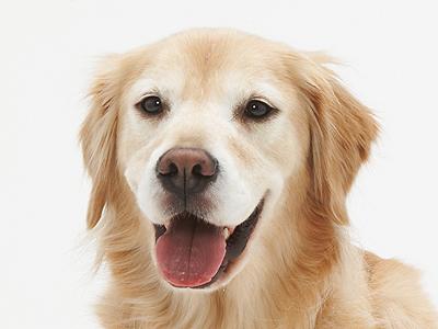 エムドッグス,動物プロダクション,ペットモデル,ペットタレント,モデル犬,タレント犬,ゴールデンレトリーバー,ロマン
