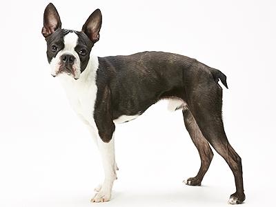 エムドッグス,動物プロダクション,ペットモデル,ペットタレント,モデル犬,タレント犬,ボストンテリア,ダーウィン