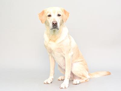 エムドッグス,動物プロダクション,ペットモデル,ペットタレント,モデル犬,タレント犬,ラブアドールレトリーバー,むぎ