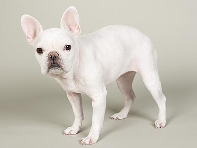 エムドッグス,動物プロダクション,ペットモデル,ペットタレント,モデル犬,タレント犬,フレンチブルドッグ,ひより