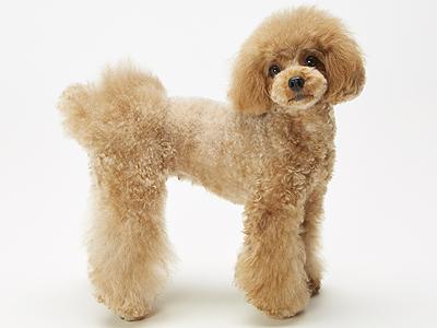 エムドッグス,動物プロダクション,ペットモデル,ペットタレント,モデル犬,タレント犬,トイプードル,おとめ