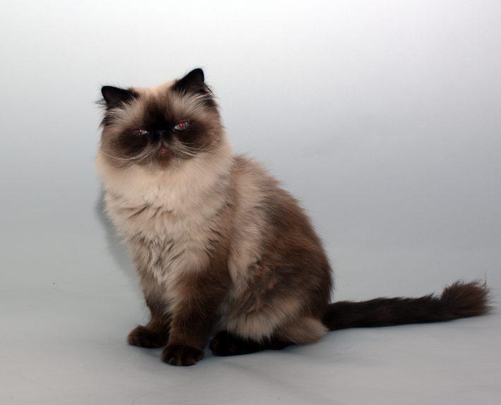 エムドッグス,動物プロダクション,ペットモデル,ペットタレント,モデル猫,タレント猫,ジャパニーズボブテイル,鈴女(すずめ)