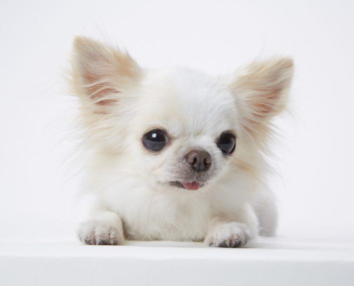 エムドッグス,動物プロダクション,ペットモデル,ペットタレント,モデル犬,タレント犬,チワワ,ふぁーちゃん