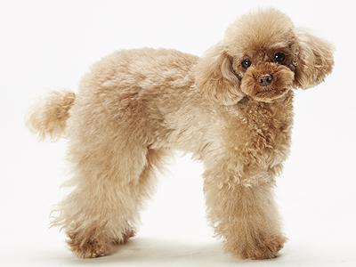 エムドッグス,動物プロダクション,ペットモデル,ペットタレント,モデル犬,タレント犬,トイプードル,Pardo(パルド)