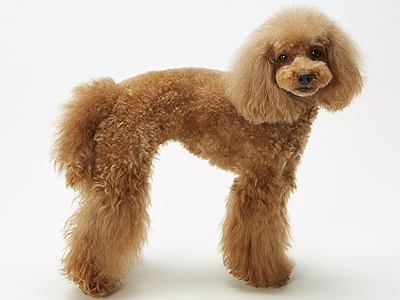 エムドッグス,動物プロダクション,ペットモデル,ペットタレント,モデル犬,タレント犬,トイプードル,こまち