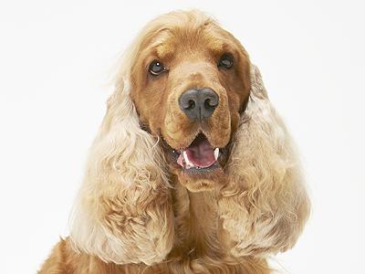 エムドッグス,動物プロダクション,ペットモデル,ペットタレント,モデル犬,タレント犬,イングリッシュコッカースパニエル,コーダ