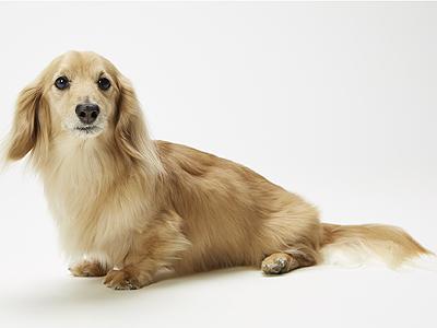 エムドッグス,動物プロダクション,ペットモデル,ペットタレント,モデル犬,タレント犬,ミニチュアダックスフンド,ファルコン