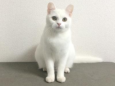 エムドッグス,動物プロダクション,ペットモデル,ペットタレント,モデル猫,タレント猫,マンチカン,小雪