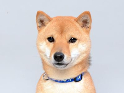 エムドッグス,動物プロダクション,ペットモデル,ペットタレント,モデル犬,タレント犬,柴犬,ハッピー