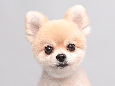 エムドッグス,動物プロダクション,ペットモデル,ペットタレント,モデル犬,タレント犬,ポメラニアン,すもも