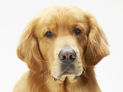 エムドッグス,動物プロダクション,ペットモデル,ペットタレント,モデル犬,タレント犬,ゴールデンレトリバー,ゼウス