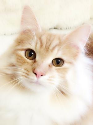 エムドッグス,動物プロダクション,ペットモデル,ペットタレント,モデル猫,タレント猫,ノルウェージャンフォレストキャット,うぃる