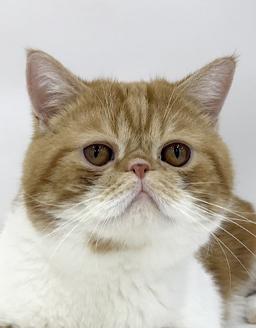エムドッグス,動物プロダクション,ペットモデル,ペットタレント,モデル猫,タレント猫,エキゾチックショートヘア,あい