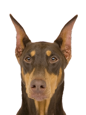 エムドッグス,動物プロダクション,ペットモデル,ペットタレント,モデル犬,タレント犬,ドーベルマン,カーネリアン