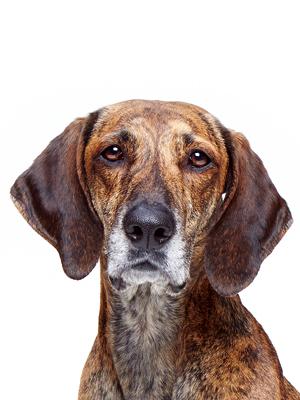 エムドッグス,動物プロダクション,ペットモデル,ペットタレント,モデル犬,タレント犬,プロットハウンド,ロビン