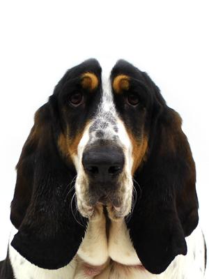 エムドッグス,動物プロダクション,ペットモデル,ペットタレント,モデル犬,タレント犬,バセットハウンド,花南(かなん)