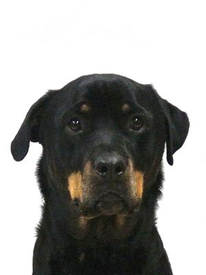 エムドッグス,動物プロダクション,ペットモデル,ペットタレント,モデル犬,タレント犬,ロットワイラー,ルビ