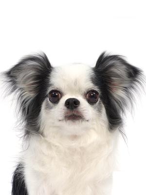 エムドッグス,動物プロダクション,ペットモデル,ペットタレント,モデル犬,タレント犬,チワワ,ラン