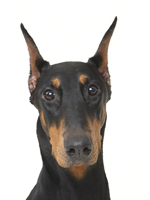 エムドッグス,動物プロダクション,ペットモデル,ペットタレント,モデル犬,タレント犬,ドーベルマン,サファイア