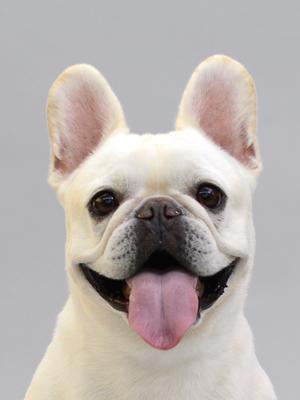 エムドッグス,動物プロダクション,ペットモデル,ペットタレント,モデル犬,タレント犬,フレンチブルドッグ,REN,レン