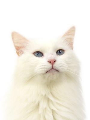 エムドッグス,動物プロダクション,ペットモデル,ペットタレント,モデル猫,タレント猫,メインクーン,ベンジャミン
