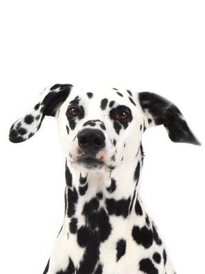 エムドッグス,動物プロダクション,ペットモデル,ペットタレント,モデル犬,タレント犬,ダルメシアン,Fee,フェイ