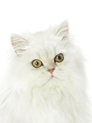 エムドッグス,動物プロダクション,ペットモデル,ペットタレント,モデル猫,タレント猫,ペルシャ,のえる