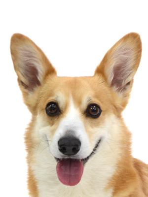 エムドッグス,動物プロダクション,ペットモデル,ペットタレント,モデル犬,タレント犬,ウェルシュコーギー,コー太