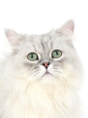 エムドッグス,動物プロダクション,ペットモデル,ペットタレント,モデル猫,タレント猫,ペルシャ,Boogie,ブギー