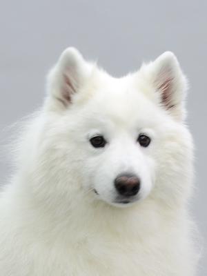 エムドッグス,動物プロダクション,ペットモデル,ペットタレント,モデル犬,タレント犬,サモエド,バービー
