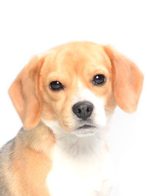 エムドッグス,動物プロダクション,ペットモデル,ペットタレント,モデル犬,タレント犬,ビーグル,Chico,チコ