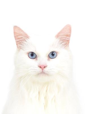 エムドッグス,動物プロダクション,ペットモデル,ペットタレント,モデル猫,タレント猫,マンチカン,アンジェラ