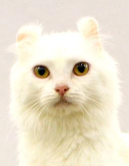 エムドッグス,動物プロダクション,ペットモデル,ペットタレント,モデル猫,タレント猫,アメリカンカール,キャベツ