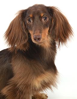 エムドッグス,動物プロダクション,ペットモデル,ペットタレント,モデル犬,タレント犬,ミニチュアダックスフンド,chloe(クロエ)