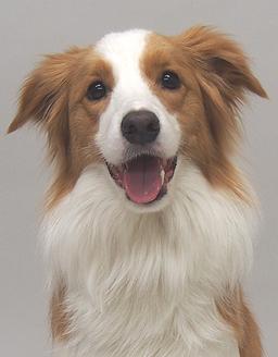 エムドッグス,動物プロダクション,ペットモデル,ペットタレント,モデル犬,タレント犬,ボーダーコリー,はな