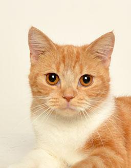 エムドッグス,動物プロダクション,ペットモデル,ペットタレント,モデル猫,タレント猫,スコティッシュフォールド,くつした